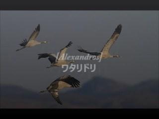 アレキサンドロス-ワタリドリ-1.jpg