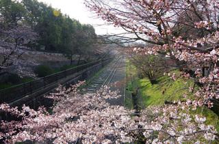 京都インクライン-桜-1.jpg