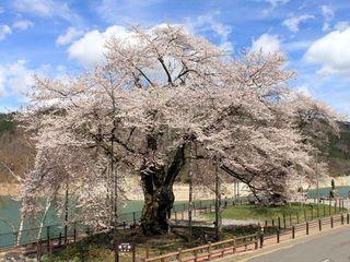 岐阜県-高山市-荘川桜-1.jpg