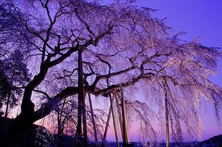愛知県-岡崎市-奥山田の枝垂桜-1.jpg