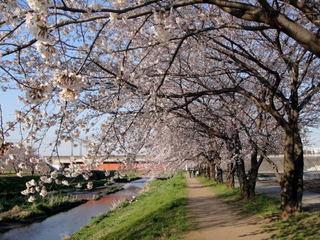 朝霞市-黒目川の桜-1.jpg