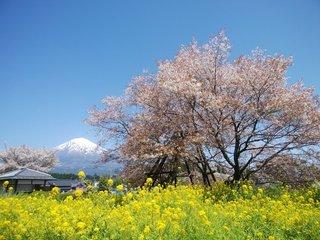 静岡県-富士宮市-狩宿の下馬桜-1.jpg